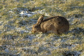 Brown Hare HARE ANIMAL Early morning feeding in snowy field  Pic: Doug Houghton / Scottish Viewpoint Tel: +44 (0) 131 622 7174 Fax: +44 (0) 131 622 7175 E-Mail: info@scottishviewpoint.com Web: www.sco... Public animal,brown,hare,lepus,capensis,leporidae,grasing,scotland,scottish,long,eared,mammal,green,golden,blades,of,grass,eater,eat,nibble,feed,feeding,food,foodstuff,grassland,field,furry,grazing,foraging,