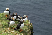 Puffin AUKS BIRD Fratercula arctica Puffins on grassy clifftop colony near nesting burrows  Pic: Doug Houghton / Scottish Viewpoint Tel: +44 (0) 131 622 7174 Fax: +44 (0) 131 622 7175 E-Mail: info@sco... Public birds,auks,puffins,fratercula,arctica,colony,ledge,scotland,scottish,tammie,nories,parrot,bottlenose,species,seabird,fish,eating,waterbird,water,bird,sea,marine,wild,life,wildlife,seawater,nest,nestin