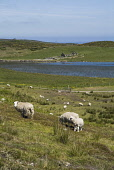 LOCH WATENAN CAITHNESS Flock of sheep and lamb grazing on moorland hillside  Pic: Doug Houghton / Scottish Viewpoint Tel: +44 (0) 131 622 7174 Fax: +44 (0) 131 622 7175 E-Mail: info@scottishviewpoint.... Public caithness,flock,sheep,lamb,grazing,scottish,ewes,scotland,farm,herd,herds,herded,herding,flocks,flocked,sheeps,ewe,wool,wooly,woolly,fleeces,yarn,ovis,ovine,animal,animals,livestock,live,stock,domesti