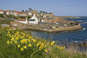Daffodil springtime flower and fishing village harbour  CRAIL FIFE  Pic: Doug Houghton / Scottish Viewpoint Tel: +44 (0) 131 622 7174 Fax: +44 (0) 131 622 7175 E-Mail: info@scottishviewpoint.com Web:... Public fife,crail,daffodils,flowers,springflowers,spring,fifeshire,shire,kingdom,east,neuk,coast,scotland,scottish,springtime,time,fish,fishing,town,community,coastal,local,village,settlement,rural,flower,wi