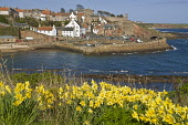 Daffodil springtime flower and fishing village harbour  CRAIL FIFE  Pic: Doug Houghton / Scottish Viewpoint Tel: +44 (0) 131 622 7174 Fax: +44 (0) 131 622 7175 E-Mail: info@scottishviewpoint.com Web:... Public fife,crail,springflowers,village,daffodils,flowers,wildlife,fifeshire,shire,kingdom,east,neuk,coast,scotland,scottish,spring,springtime,time,fish,fishing,town,community,coastal,local,settlement,rural,