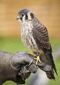 American Kestrel at the Glamis Countryside Festival, Angus.  PIC: ALLAN COUTTS/SCOTTISH VIEWPOINT  Tel: +44 (0) 131 622 7174  Fax: +44 (0) 131 622 7175  E-Mail: info@scottishviewpoint.com  Web: www.sc... Public American Kestrel,Falco sparverius,Glamis,game fair,festival,countryside,bird,falconry,hawk,falconer,show,powerful,fast,captive,display,tethered,hunting,prey,fly,flying,silent,head,night,nocturnal,anim