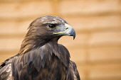 Golden Eagle at the Glamis Countryside Festival, Angus.  PIC: ALLAN COUTTS/SCOTTISH VIEWPOINT  Tel: +44 (0) 131 622 7174  Fax: +44 (0) 131 622 7175  E-Mail: info@scottishviewpoint.com  Web: www.scotti... Public Aquila chrysaetos,Golden Eagle,Glamis,game fair,festival,countryside,bird,falconry,hawk,owl,eagel,falconer,show,powerful,fast,captive,display,tethered,hunting,prey,fly,flying,silent,head,animal,feathe
