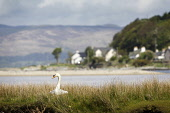 Pic Shows: A swan nesting at Lochranza, Arran, Scotland, with Lochranza Castle in the distance. PIC: Iain McLean/ Scottish Viewpoint TEL: +44 (0) 131 622 7174 FAX: +44 (0) 131 622 7175 E-MAIL: info@sc... Public, NMR iain mclean,Arran,Scottish Islands,birds,bird