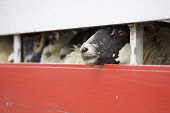 Sheep in cattle truck, Isle of Skye, Scotland  Pic: Marcus McAdam / Scottish Viewpoint Tel: 0044 (0) 131 622 7174 Fax:0044 (0) 131 622 7175 E-Mail: info@scottishviewpoint.com Web: www.scottishviewpoin... Public, NMR Agriculture,Animals,Cattle,Ewe,Farming,Great Britain,Highlands,Isle of Skye,Scotland,Sheep,Truck,UK,Wool