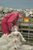 WEST BURRA SHETLAND Farmer shearing Shetland sheep with hand clippers  Pic: Doug Houghton / Scottish Viewpoint Tel: 0044 (0) 131 622 7174 Fax: 0044 (0) 131 622 7175 E-Mail: info@scottishviewpoint.com... Public, NMR shetland,sheep,shearing,hand,clippers,wool,fleeces,scotland,scottish,agronomy,country,side,countryside,domestic,ovis,ovine,farmland,outdoors,live,stock,farming,farm,agricultural,agriculture,livestock,