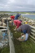 WEST BURRA SHETLAND Farmers marking their Shetland sheep in sheep pen  Pic: Doug Houghton / Scottish Viewpoint Tel: 0044 (0) 131 622 7174 Fax: 0044 (0) 131 622 7175 E-Mail: info@scottishviewpoint.com... Public, NMR shetland,marking,dye,sheep,farm,worker,farmhand,scotland,scottish,agronomy,domestic,ovis,ovine,outdoors,live,stock,agriculture,livestock,rural,farmer,people,man,wool,fleeces,wooly,land,country,life,co