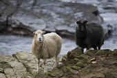 NORTH RONALDSAY ORKNEY Pair of  Seaweed eating sheep on rugged rocky cliffs  Pic: Doug Houghton / Scottish Viewpoint Tel: 0044 (0) 131 622 7174 Fax: 0044 (0) 131 622 7175 E-Mail: info@scottishviewpoin... Public, NMR orkney,north,ronaldsay,seaweed,eating,sheep,pair,northern,isles,islands,ewe,ovis,ovine,farm,breed,bred,rear,breeding,raising,rearing,farming,breeds,breds,pedigrees,thoroughbreds,pedigree,thoroughbred,