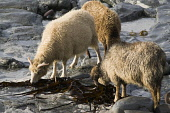 NORTH RONALDSAY ORKNEY North Ronaldsay sheep flock eating seaweed  Pic: Doug Houghton / Scottish Viewpoint Tel: 0044 (0) 131 622 7174 Fax: 0044 (0) 131 622 7175 E-Mail: info@scottishviewpoint.com Web:... Public, NMR orkney,north,ronaldsay,seaweed,eating,sheep,kelp,northern,isles,islands,ewe,ovis,ovine,farm,breed,bred,breeding,farming,breeds,breds,pedigrees,thoroughbreds,pedigree,thoroughbred,livestock,live,stock,