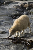 NORTH RONALDSAY ORKNEY North Ronaldsay sheep eating seaweed  Pic: Doug Houghton / Scottish Viewpoint Tel: 0044 (0) 131 622 7174 Fax: 0044 (0) 131 622 7175 E-Mail: info@scottishviewpoint.com Web: www.s... Public, NMR orkney,north,ronaldsay,seaweed,sheep,one,feeding,northern,isles,islands,ovis,ovine,farm,animal,breed,bred,rear,breeding,raising,rearing,farming,pedigree,thoroughbred,livestock,live,stock,domestic,1,si