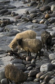 NORTH RONALDSAY ORKNEY North Ronaldsay sheep flock eating seaweed  Pic: Doug Houghton / Scottish Viewpoint Tel: 0044 (0) 131 622 7174 Fax: 0044 (0) 131 622 7175 E-Mail: info@scottishviewpoint.com Web:... Public, NMR orkney,north,ronaldsay,seaweed,sheep,eating,bred,northern,isles,islands,ewe,ovis,ovine,farm,breed,rear,breeding,raising,rearing,farming,breeds,breds,pedigrees,thoroughbreds,pedigree,thoroughbred,lives