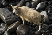 NORTH RONALDSAY ORKNEY Seaweed eating sheep on rugged rocky cliffs  Pic: Doug Houghton / Scottish Viewpoint Tel: 0044 (0) 131 622 7174 Fax: 0044 (0) 131 622 7175 E-Mail: info@scottishviewpoint.com Web... Public, NMR orkney,north,ronaldsay,seaweed,eating,sheep,single,northern,isles,islands,ovis,ovine,farm,animal,breed,bred,rear,breeding,raising,rearing,farming,pedigree,thoroughbred,livestock,live,stock,domestic,1,