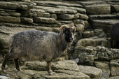NORTH RONALDSAY ORKNEY Seaweed eating sheep on rugged rocky cliffs  Pic: Doug Houghton / Scottish Viewpoint Tel: 0044 (0) 131 622 7174 Fax: 0044 (0) 131 622 7175 E-Mail: info@scottishviewpoint.com Web... Public, NMR orkney,north,ronaldsay,seaweed,eating,sheep,one,northern,isles,islands,ovis,ovine,farm,animal,breed,bred,rear,breeding,raising,rearing,farming,pedigree,thoroughbred,livestock,live,stock,domestic,1,sol