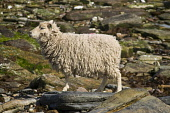 NORTH RONALDSAY ORKNEY North Ronaldsay  white sheep standing on rocks  Pic: Doug Houghton / Scottish Viewpoint Tel: 0044 (0) 131 622 7174 Fax: 0044 (0) 131 622 7175 E-Mail: info@scottishviewpoint.com... Public, NMR orkney,north,ronaldsay,sheep,pedigree,ewe,breed,female,ovis,ovine,bred,thoroughbred,seacoast,sea,coast,rocky,shore,ewes,females,livestock,animal,orkneys,pure,purebred,purebreed,animals,purebreds,thoro
