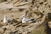FULMAR BIRD Fulmars nestling on sandy beach bank  Pic: Doug Houghton / Scottish Viewpoint Tel: 0044 (0) 131 622 7174 Fax: 0044 (0) 131 622 7175 E-Mail: info@scottishviewpoint.com Web: www.scottishview... Public, NMR bird,fulmar,perching,fulmarus,glacialis,seabirds,nestling,nesting,sitting,perched,nestled,sat,perch,nestle,nest,site,sit,perchs,nestles,nests,sits,wildfowl,wild,life,fowl,wildbird,birdlife,creature,wi