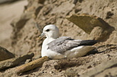 FULMAR BIRD Fulmar nestling on sandy beach bank  Pic: Doug Houghton / Scottish Viewpoint Tel: 0044 (0) 131 622 7174 Fax: 0044 (0) 131 622 7175 E-Mail: info@scottishviewpoint.com Web: www.scottishviewp... Public, NMR bird,fulmar,fulmarus,glacialis,seabird,nestle,sits,perch,sit,perched,nestled,sat,perching,nestling,nesting,sitting,perchs,nestles,nests,wildfowl,wild,life,fowl,wildbird,birdlife,creature,wildlife,seab