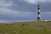 NORTH RONALDSAY ORKNEY Sheep grasing North Ronaldsay Lighthouse  Pic: Doug Houghton / Scottish Viewpoint Tel: 0044 (0) 131 622 7174 Fax: 0044 (0) 131 622 7175 E-Mail: info@scottishviewpoint.com Web: w... Public, NMR orkney,north,ronaldsay,lighthouse,sheep,grazing,sky,dark,gray,grey,cloudy,bleak,northern,light,house,board,nlhb,tower,beacon,ewe,female,ovis,ovine,herd,flock,fold,grasing,grass,grasses,graze,feed,graz