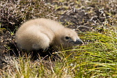 GREAT SKUA BIRD Stercorarius skua chick in heather moorland nest  Pic: Doug Houghton / Scottish Viewpoint Tel: 0044 (0) 131 622 7174 Fax: 0044 (0) 131 622 7175 E-Mail: info@scottishviewpoint.com Web:... Public, NMR bird,great,skua,stercorarius,chick,moorland,nest,bonxie,orkney,orkneys,baby,wildfowl,wild,life,fowl,wildbird,birdlife,creature,wildlife,seabird,sea,ornithology,avian,nature,babies,chicks,perch,nestle,