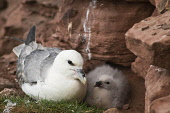 Fulmar BIRDS ORKNEY Fulmar Fulmarus glacialis cliff nest with baby chick Hoy Orkney  Pic: Doug Houghton / Scottish Viewpoint Tel: 0044 (0) 131 622 7174 Fax: 0044 (0) 131 622 7175 E-Mail: info@scottish... Public, NMR fulmarus,glacialis,cliff,nest,fulmar,young,bird,nestling,seabird,birds,nests,nesting,seabirds,baby,chick,hoy,orkney,sea,birdlife,wildbird,creature,wildlife,perch,nestle,site,perchs,nestles,sits,perchi