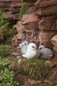 Fulmar BIRDS ORKNEY Fulmar Fulmarus glacialis seacliff nest with baby chick Hoy Orkney  Pic: Doug Houghton / Scottish Viewpoint Tel: 0044 (0) 131 622 7174 Fax: 0044 (0) 131 622 7175 E-Mail: info@scott... Public, NMR fulmarus,glacialis,fulmar,chick,bird,nest,cliff,nestling,seabird,birds,nests,nesting,seabirds,baby,hoy,orkney,sea,birdlife,wildbird,creature,wildlife,perch,nestle,site,perchs,nestles,sits,perching,sit