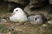 Fulmar BIRDS ORKNEY Fulmar Fulmarus glacialis seacliff nest baby chick North Ronaldsay Orkney  Pic: Doug Houghton / Scottish Viewpoint Tel: 0044 (0) 131 622 7174 Fax: 0044 (0) 131 622 7175 E-Mail: inf... Public, NMR fulmar,fulmarus,glacialis,bird,chick,nesting,seacliff,nest,baby,north,ronaldsay,orkney,birds,seabirds,sea,seabird,birdlife,wildbird,creature,wildlife,wildbirds,creatures,perch,nestle,site,perchs,nestl