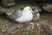 Fulmar BIRDS ORKNEY Fulmar Fulmarus glacialis seacliff nest baby chick North Ronaldsay Orkney  Pic: Doug Houghton / Scottish Viewpoint Tel: 0044 (0) 131 622 7174 Fax: 0044 (0) 131 622 7175 E-Mail: inf... Public, NMR fulmarus,glacialis,fulmar,bird,nest,chick,seacliff,baby,north,ronaldsay,orkney,birds,seabirds,sea,seabird,birdlife,wildbird,creature,wildlife,wildbirds,creatures,newly,born,newborn,offspring,chicks,ba