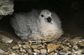 Fulmar BIRDS ORKNEY Fulmar Fulmarus glacialis baby chick nest North Ronaldsay Orkney  Pic: Doug Houghton / Scottish Viewpoint Tel: 0044 (0) 131 622 7174 Fax: 0044 (0) 131 622 7175 E-Mail: info@scottis... Public, NMR chick,birds,nest,fulmar,fulmarus,glacialis,baby,north,ronaldsay,orkney,bird,newly,born,newborn,offspring,chicks,babies,offsprings,birth,nesting,perch,nestle,site,perchs,nestles,nests,sits,perching,nes