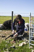 NORTH RONALDSAY ORKNEY Girl shearing North Ronaldsay sheep with hand clippers  Pic: Doug Houghton / Scottish Viewpoint Tel: 0044 (0) 131 622 7174 Fax: 0044 (0) 131 622 7175 E-Mail: info@scottishviewpo... Public, NMR shearing,sheep,hand,clippers,girl,clipping,wool,north,ronaldsay,orkney,cut,cutting,fleeces,shear,sheeps,fleece,wooly,livestock,farming,young,female,worker,teenager,shears,sheared,clipped,clips,cutter,