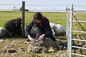 NORTH RONALDSAY ORKNEY Girl shearing North Ronaldsay sheep with hand clippers  Pic: Doug Houghton / Scottish Viewpoint Tel: 0044 (0) 131 622 7174 Fax: 0044 (0) 131 622 7175 E-Mail: info@scottishviewpo... Public, NMR shearing,sheep,hand,clippers,girl,clipping,wool,north,ronaldsay,orkney,cut,cutting,fleeces,shear,sheeps,fleece,wooly,worker,livestock,farming,young,female,woman,lady,shears,sheared,clipped,clips,cutte