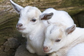 One week old Pygmy Goat Kids born in South Lanarkshire, Scotland  Pic: Andrew Wilson / Scottish Viewpoint Tel: 0044 (0) 131 622 7174 Fax: 0044 (0) 131 622 7175 E-Mail: info@scottishviewpoint.com Web:... Public, NMR pygmy,goat,west,Africa,african,Scotland,pet,pasture,kid,kids,summer,babies,play,playing,rare,breed,farm,farming,spring,new,South Lanarkshire