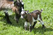 Young Pygmy Goat Kid with mum  Pic: Andrew Wilson / Scottish Viewpoint Tel: 0044 (0) 131 622 7174 Fax: 0044 (0) 131 622 7175 E-Mail: info@scottishviewpoint.com Web: www.scottishviewpoint.com This pict... Public, NMR pygmy,goat,west,Africa,african,Scotland,pet,pasture,kid,kids,summer,babies,play,playing,rare,breed,farm,farming,spring,new,South Lanarkshire