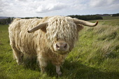 Highland Cow  Pic: Marcus McAdam / Scottish Viewpoint Tel: 0044 (0) 131 622 7174 Fax: 0044 (0) 131 622 7175 E-Mail: info@scottishviewpoint.com Web: www.scottishviewpoint.com This picture cannot be rep... Public, NMR Agriculture,Animal,Bad hair day,Britain,British,Bull,Cattle,Farming,Great Britian,Hairstyle,Hairy,Hebrides,Highland Cow,Horns,Isle of Skye,Scotland,UK,United Kingdom,Western Isles
