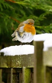 A robin in the winter snow in Glasgow Pic: Garry F McHarg / Scottish Viewpoint Tel: +44 (0) 131 622 7174 Fax: +44 (0) 131 622 7176 E-Mail: info@scottishviewpoint.com Web: www.scottishviewpoint.com Thi... Public, MR winter,weather,bad,snow,bird,birds