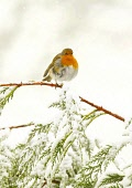A robin in the winter snow in Glasgow Pic: Garry F McHarg / Scottish Viewpoint Tel: +44 (0) 131 622 7174 Fax: +44 (0) 131 622 7176 E-Mail: info@scottishviewpoint.com Web: www.scottishviewpoint.com Thi... Public, MR winter,weather,bad,snow,bird,birds,eat