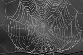 Spiders Web with morning dew, Dumfries and Galloway.Picture Credit : Keith Kirk / Scottish ViewpointTel: +44 (0) 131 622 7174Fax: +44 (0) 131 622 7175E-Mail: info@scottishviewpoint.comWeb: www.scottis... Public NATURE,PATTERN,DETAIL,INSECT,FAUNA,WILDLIFE