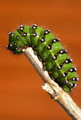Emperor Moth larva, Dumfries and Galloway.Picture Credit : Keith Kirk / Scottish ViewpointTel: +44 (0) 131 622 7174Fax: +44 (0) 131 622 7175E-Mail: info@scottishviewpoint.comWeb: www.scottishviewpoint... Public SUNNY,WILDLIFE,INSECT,FAUNA,CATERPILLAR