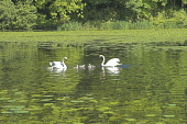 Swans on Swan Pond Culzean Country Prk South Ayrshire  Picture Credit: D Farquhar / Scottish Viewpoint Tel: +44 (0) 131 622 7174 Fax: +44 (0) 131 622 7175 E-Mail: info@scottishviewpoint.com Web: www.s... Public, NMR Culzean Country Park,National Trust for Scotland,Scotland,Swan Pond,South Ayrshire,Swans,Cygnets,UK,Britain,British,Great Britain,Holidays,Holiday,visitors,Tourism,Tourists,Travel