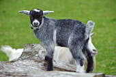 Three week old pygmy goat on a holding in South Lanarkshire, Scotland in spring Picture Credit: Andrew Wilson / Scottish Viewpoint Tel: +44 (0) 131 622 7174 Fax: +44 (0) 131 622 7175 E-Mail: info@scot... Public, NMR pygmy goat,farm,spring,young,cute,farming,smallholding,pet,play,playful,goat,kid