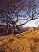 Tree on the side of a hill in the Lowther Hills catching the last of winter evening sunshine near sunset Nithsdale Scotland UK  Picture Credit: Allan Devlin / Scottish Viewpoint Tel: +44 (0) 131 622 7... Public, NMR tree,red,light,evening,sunset,nithsdale,lowther,hills,side,hill,branch,branches,mountain,rolling,scotland,scottish,uk