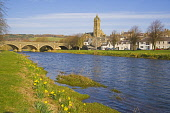 Bridge over the river Tweed at Peebles, Spring, daffodils, Borders Region, Scotland  Picture Credit: Dennis Barnes / Scottish Viewpoint Tel: +44 (0) 131 622 7174 Fax: +44 (0) 131 622 7175 E-Mail: info... Public Peebles,Bridge,daffodils,spring,Town,Old,Parish,Church,Scottish,Borders,Region,River,Tweed,visitors,Scotland,UK,United Kingdom,Travel,heritage,tourist,Attraction,Tourism,Visitor,Peeblesshire,summer
