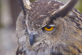 Eagle owl with attitude, Aberfoyle, Scottish wool centre, Trossachs, Stirlingshire,  Scotland.  Picture Credit: Dennis Barnes / Scottish Viewpoint Tel: +44 (0) 131 622 7174 Fax: +44 (0) 131 622 7175 E... Public Eagle,Owl,birds,of,prey,Scottish,wool,centre,Aberfoyle,Trossachs,Loch,Lomond,national,park,Queen,Elizabeth,forest,Scotland,mountain,Stirlingshire,Central,Region,UK,United,Kingdom,horizontal,Travel,her
