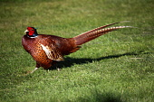 A cock pheasant in the dappled light of a woodland in Edinburgh. Males are usually larger than females and have longer tails. Males play no part in rearing the young.  Picture Credit: Ian Macrae Young... Public summer,sunny,bird,nature,fauna