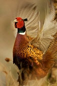 Displaying Cock Pheasant in springtime mating colours.Picture Credit: John MacTavish / Scottish Viewpoint Tel: +44 (0) 131 622 7174 Fax: +44 (0) 131 622 7175 E-Mail: info@scottishviewpoint.com Web: ww... Public, NMR spring,sunny,nature,wildlife,bird,fauna