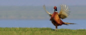 Displaying Cock Pheasant in springtime mating colours. Picture Credit: John MacTavish / Scottish Viewpoint  Tel: +44 (0) 131 622 7174  Fax: +44 (0) 131 622 7175  E-Mail: info@scottishviewpoint.com  We... Public, NMR spring,sunny,nature,wildlife,bird,fauna