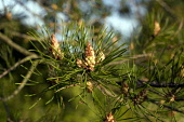Pine Cones developing on a fir tree.  Picture Credit : Mike Clarke / Scottish Viewpoint Tel: +44 (0) 131 622 7174  Fax: +44 (0) 131 622 7175 E-Mail : info@scottishviewpoint.com This photograph cannot... Public, NMR Garden,Pine,Pine Cones,Tree,Trees,Natural World,Nature,sunny