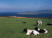 EVIE ORKNEY Friesan cow herd grazing Eynhallow Sound Enyhallow Rousay Island  Picture Credit: Doug Houghton / Scottish Viewpoint Tel: +44 (0) 131 622 7174   Fax: +44 (0) 131 622 7175 E-Mail : info@sco... Public friesan,grazing,field,farm,dairy,cows,cattle,grass,scotland,scottish,black,white,milk,bovine,bovinae,bovidae,herbivore,herbivorous,domestic,herd,cowherd,stock,animals,livestock,live,raise,reared,farml