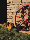 Farm museum CORRIGALL ORKNEY Wheel and hens  Picture Credit: Doug Houghton / Scottish Viewpoint Tel: +44 (0) 131 622 7174   Fax: +44 (0) 131 622 7175 E-Mail : info@scottishviewpoint.com This photograp... Public birds,hens,chickens,farm,poultry,gallus,domestic,gallinaceous,scotland,scottish,hen,domesticated,fowl,tame,flock,group,crowd,cluster,grazing,eating,feeding,pecking,domesticus,raised,rear,agricultural,