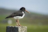 Oystercatcher WADERS BIRD Oyster catcher Haematopus ostralegus sitting on post black white plumage  Picture Credit: Doug Houghton / Scottish Viewpoint Tel: +44 (0) 131 622 7174   Fax: +44 (0) 131 622... Public bird,waders,oystercatcher,haematiopus,ostralegus,scotland,scottish,wader,waterbird,water,coastal,seabird,sea,marine,wild,life,wildlife,shore,shorebirds,wading,shellfish,shell,fish,eater,observing,watc