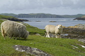 Nibon GUNNISTER SHETLAND Shetland lamb looking at mother sheep on rocky shores  Picture Credit: Doug Houghton / Scottish Viewpoint Tel: +44 (0) 131 622 7174   Fax: +44 (0) 131 622 7175 E-Mail : info@s... Public shetland,lamb,ewe,rocky,shore,graze,remote,farming,scotland,scottish,isolation,agricultural,country,life,countryside,animal,grazer,fed,grass,farm,livestock,land,ground,grassland,pasturage,eat,outside,
