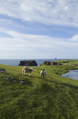 Dridgeo ESHA NESS SHETLAND Two lambs grazing on seacliff top overlook Lochs of Dridgeo  Picture Credit: Doug Houghton / Scottish Viewpoint Tel: +44 (0) 131 622 7174   Fax: +44 (0) 131 622 7175 E-Mail... Public shetland,esha,ness,dridgeo,scotland,scottish,farming,fresh,isolated,isolation,agricultural,country,side,countryside,remote,animal,mammal,grazer,fed,eating,graze,grass,grase,wool,fleeces,wooly,stock,fa